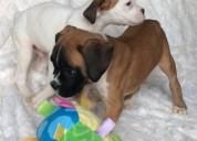 Cachorros pequeños para adoptar boxer