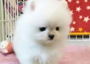 Regalo cachorros pomerania para la adopcion