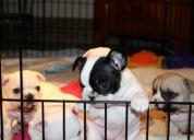 Registrado bulldog francés cachorros