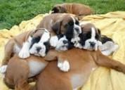 Lindos cachorros boxers disponibles