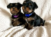 Cachorros yorkshire para adopcion