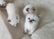 5 preciosos gatitos ragdoll