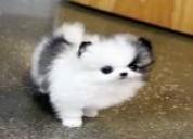 Precioso cachorro de pomerania