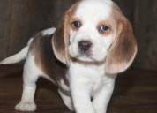 Se venden cachorros beagle machos y hembras