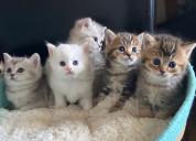 Venta de gatitos de la familia scottish fold