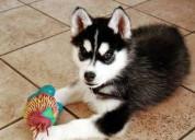 Precioso perrito husky