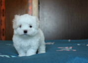 Superior bichon maltes disponibles