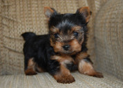 Regalo cachorros yorkshire terrier toy, de