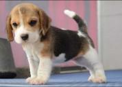 Lindos cachorros beagle para adopcion