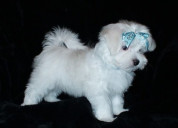 Regalo superior cachorros bichon maltes disponible