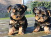 Regalo cachorros yorkshire terrier mini toy, para
