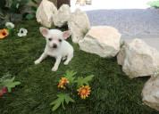 Cachorros de chihuahua mini toy