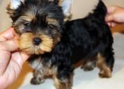 Gratis adorable cachorros yorkshire terrier para