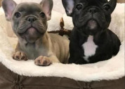 Cachorritos de bulldog frances
