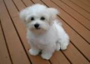 Cachorros maltés hermosos, adorables e inteligent