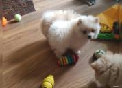 Cachorros de pomerania de 12 semanas a l`adopcion