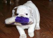 Bulldog ingles disponibles