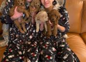 Cachorros goldendoodle macho y hembra en venta