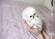 Pomerania toy macho y hembra