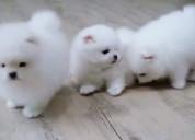 Venta de cachorro macho pomerania lulu blanco