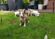 Dos cachorros de raza bull terrier machos y hembra