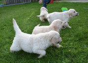 Cachorros de golden retriever color blanco para ve