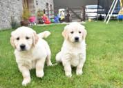 Perro golden retriever cachorro blanco a la venta