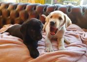 Perritos bebes de labrador retriever