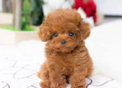 Toy caniche cachorros disponibles