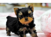 Hermosos cachorros de yorkshire terrier disponible