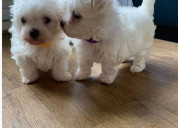 Miniatura cachorros bichon maltes en adopcion