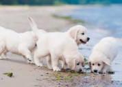Muy cariñosos cachorros golden retriever