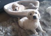 Adorables perros perdigueros de oro