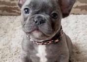 Blue eyes lindos bulldog frances