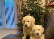 Cachorros golden retriever en adopción