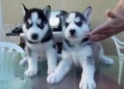 Cachorros husky siberiano pura raza ojos azules