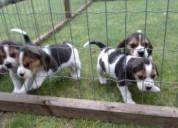 Cachorros beagle de 3 messes
