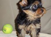 Miniatura cachorros yorkshire terrier en adopcion