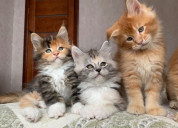 Gatitos de maine coon para adopción