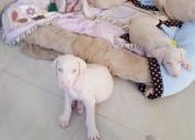 Adorables cachorros doberman albino