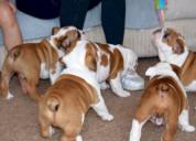 Bulldog ingles hermosas