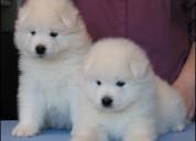 Regalo impresionate cachorros samoyedo