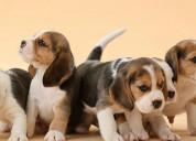Regalo cachorros beagle hembra y macho,