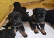 Regalo fantastico cachorros pastor aleman,