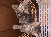 Regalo fantastico gatitos bengala ,