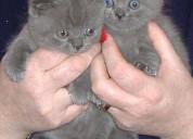 azules bebés británicos de pelo corto