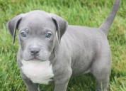 Anuncios lindo pitbull americano en adopción