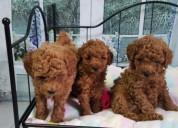Anuncios dos cachorros de caniche listos ahora