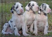 Preciosos cachorros de gran danes entregar y reser