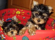 Anuncios yorkie cachorros para adoptar